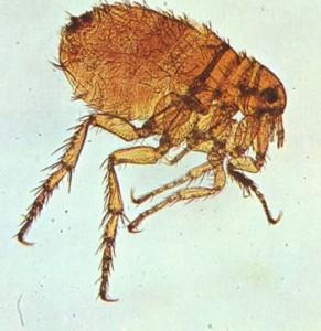 Elimine as pulgas e carrapatos de sua casa.